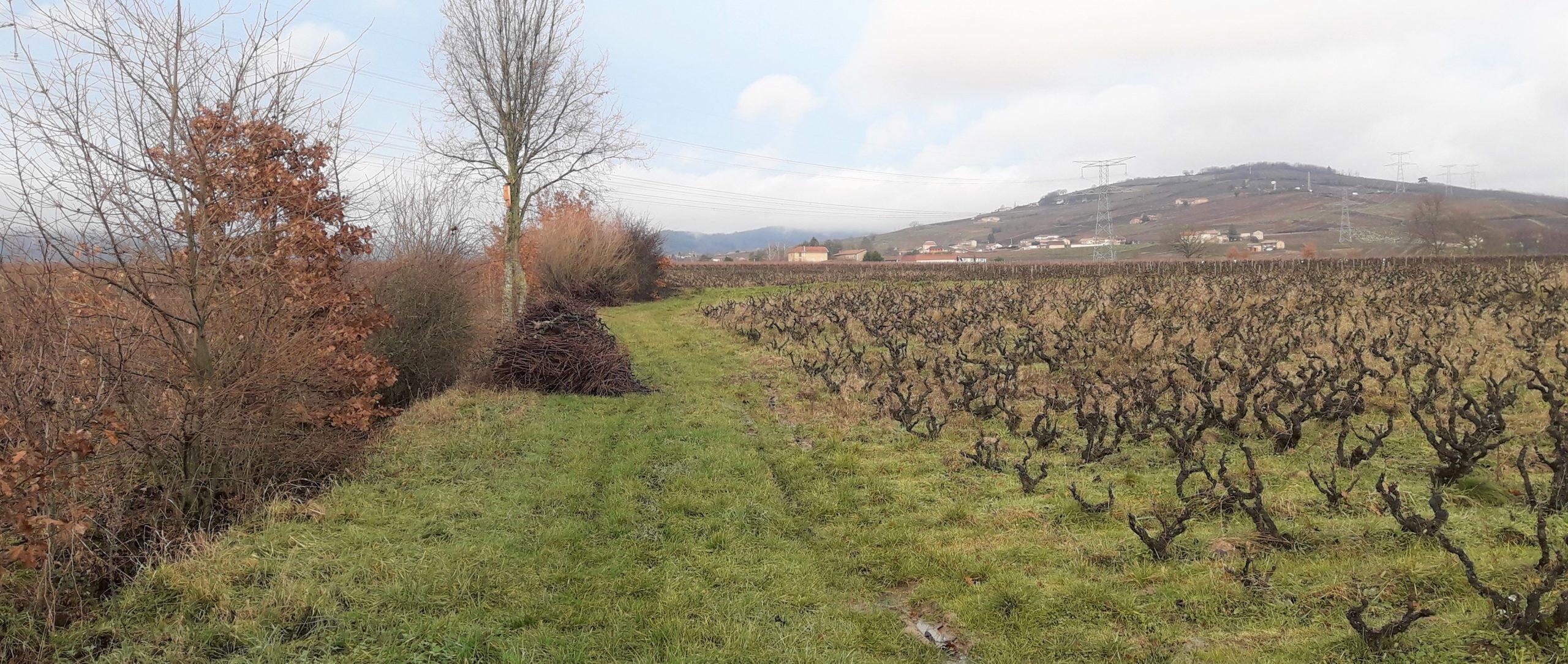 Parcelle de vigne